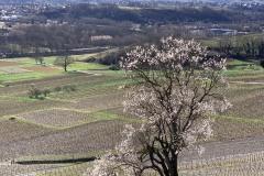Arbre en fleur dans les vignes de Chignin - iPhone XS Max - ISO 16 - f/2,4 - 1/610 s
