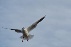 Mouette en vol