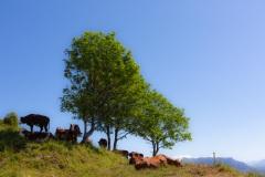 Vaches en vacances à la montagne - Canon EOS 5D Mark III - EF 50 mm f/1,4 USM - ISO 200 - f/11 - 1/800 s