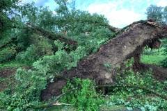 Arbre de belle taille arraché par la tempête