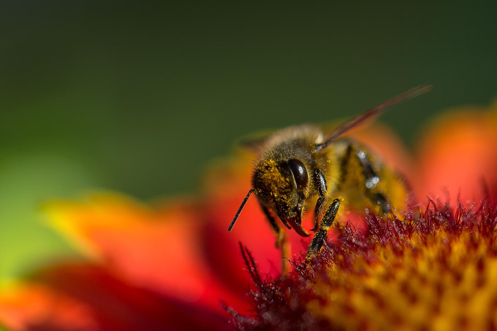 Galerie macrophotographiephoto macro d'une abeille sur une fleur