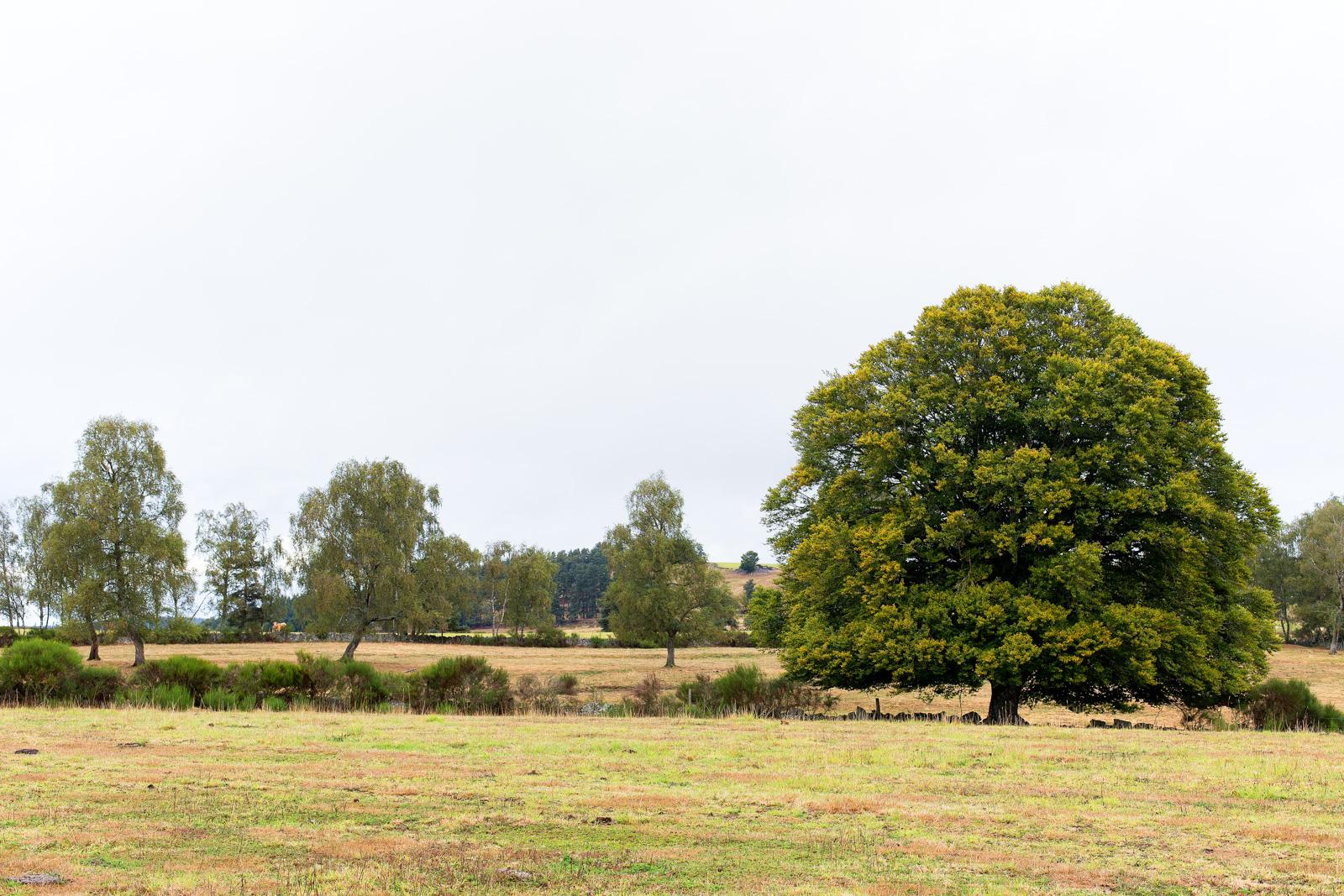 Tour des monts d'aubrac - arbre