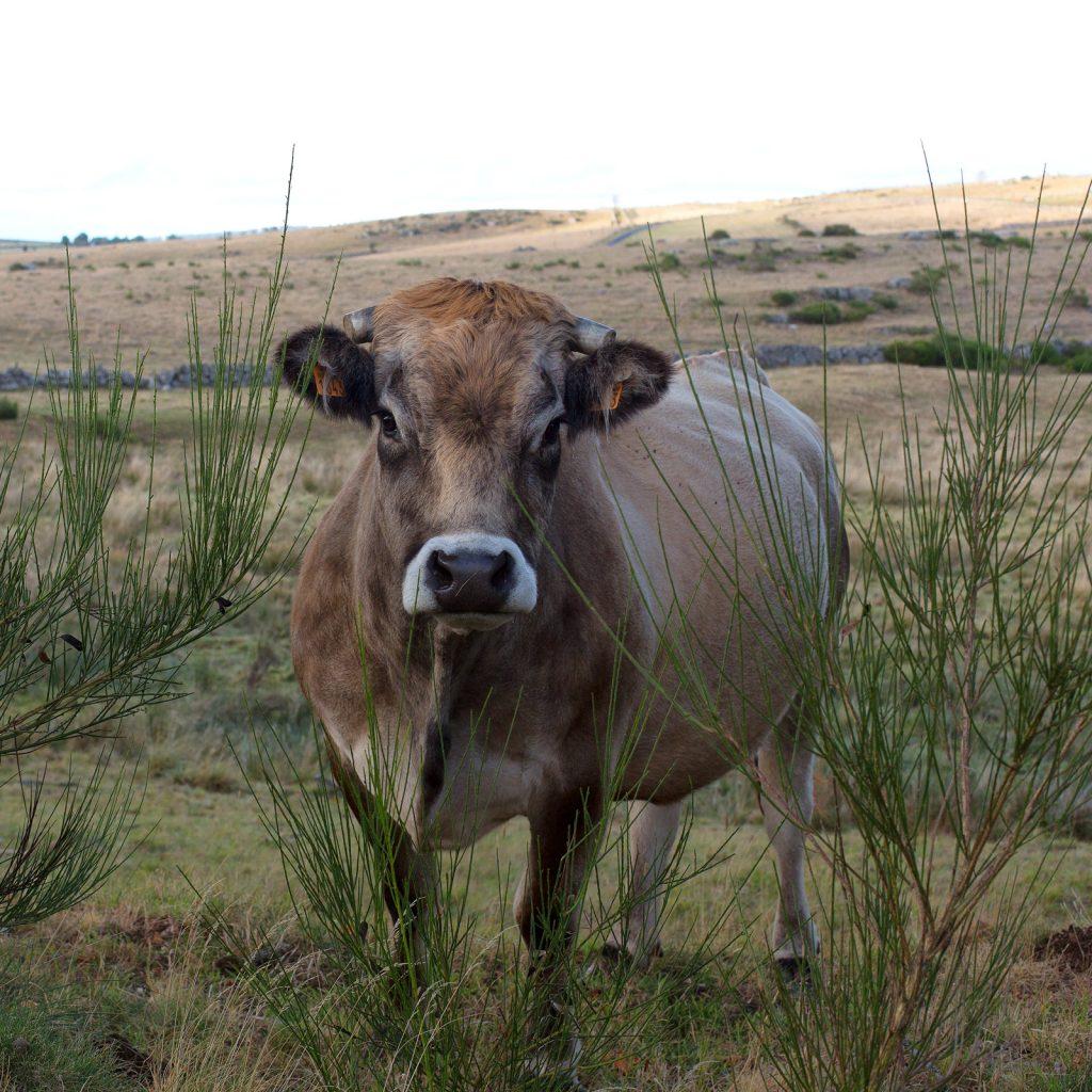 Mont d'Aubrac - Vache de la race d'Aubrac