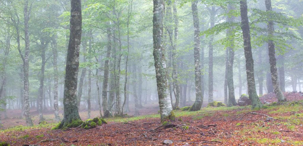 Tour des Monts d'Aubrac - Panorama forêt de hêtres