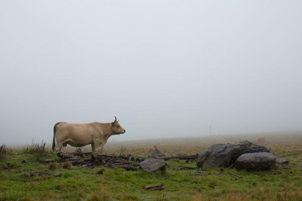 Tour des Monts d'Aubrac - Vache dans le brouillard