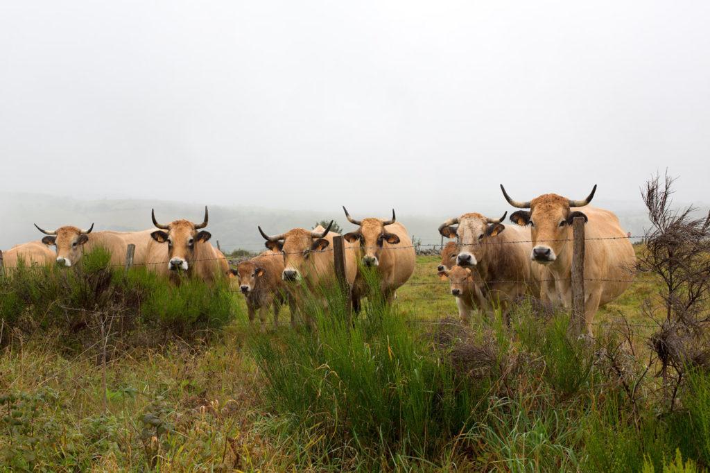 Vaches de la race Aubrac