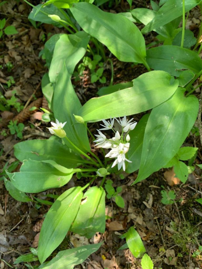 Ail sauvage, ail des bois ou ail des ours - Allium ursinum