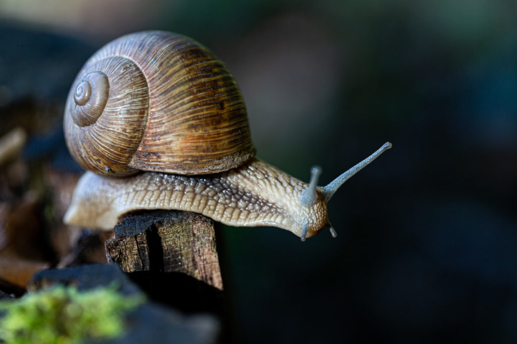 Projet 52 - Photo macro d'escargot