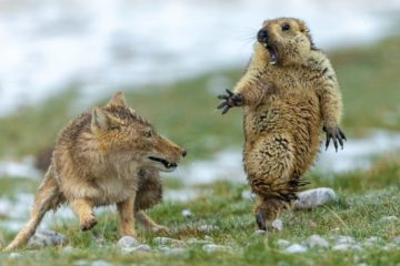 Marmotte Wildlife photographer of the year 2019