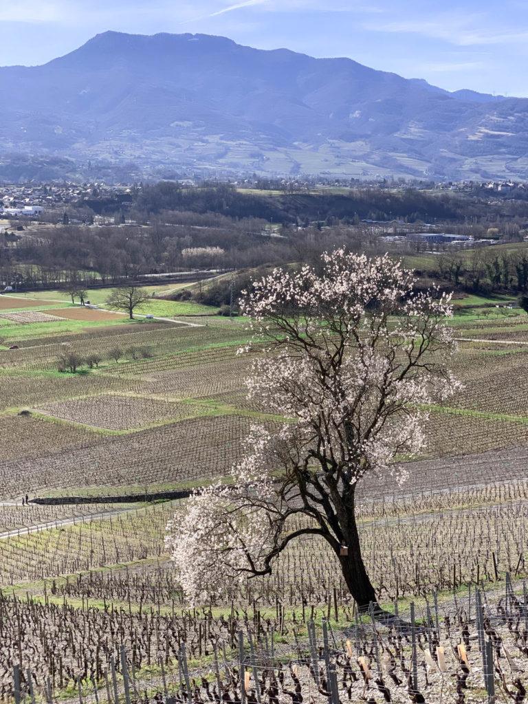 Arbre en fleur dans les vignes de Chignin