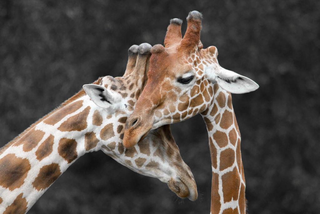 Projet 52 - Couple de girafes au zoo de Beauval