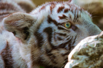 Projet 52 - Petit tigre blanc au zoo de Beauval
