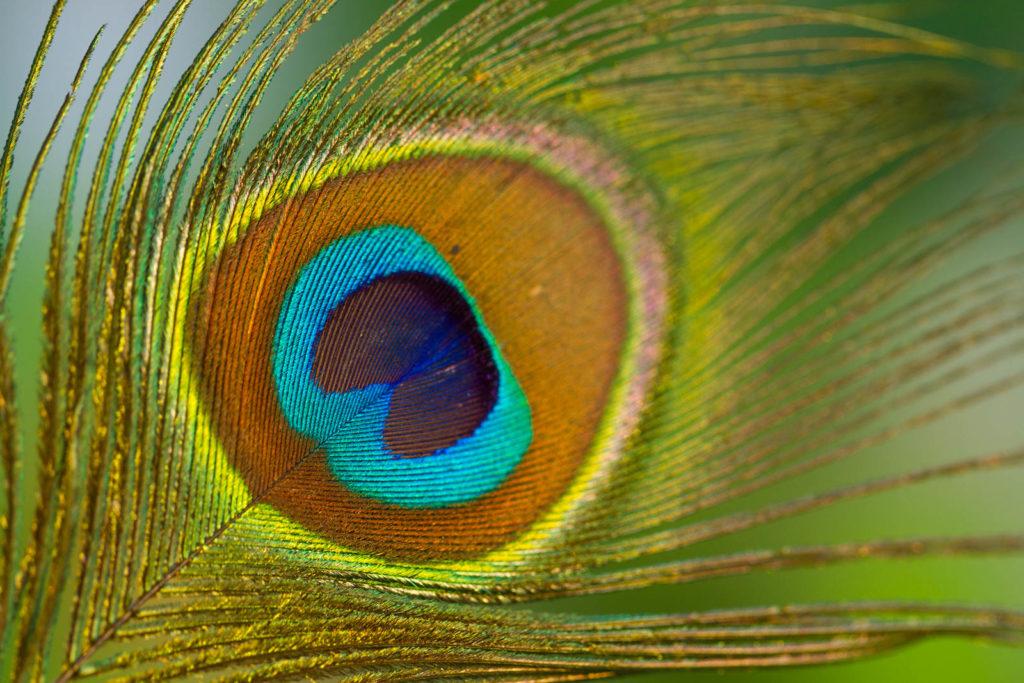 Projet 52 - Photo macro d'une plume de paon
