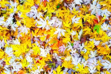 Phoneographie - Tapis de feuilles mortes