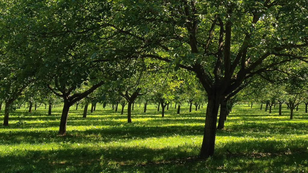 iPhoneographie - Forêt de noyers